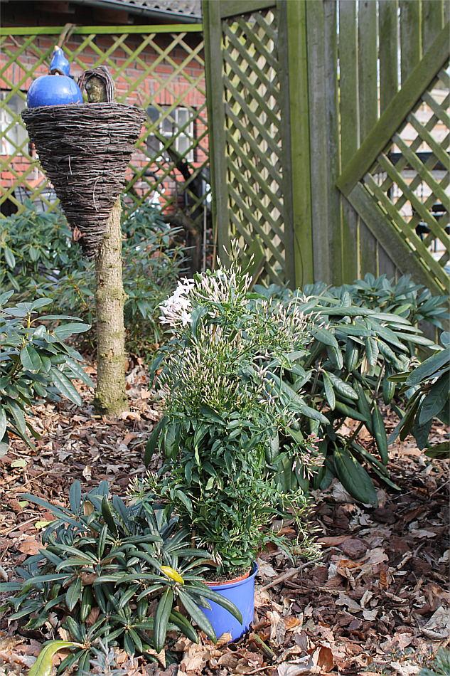 jasminum polyanthum duft jasmin als schnellwachsende duft kletterpflanze f r balkon und terasse. Black Bedroom Furniture Sets. Home Design Ideas