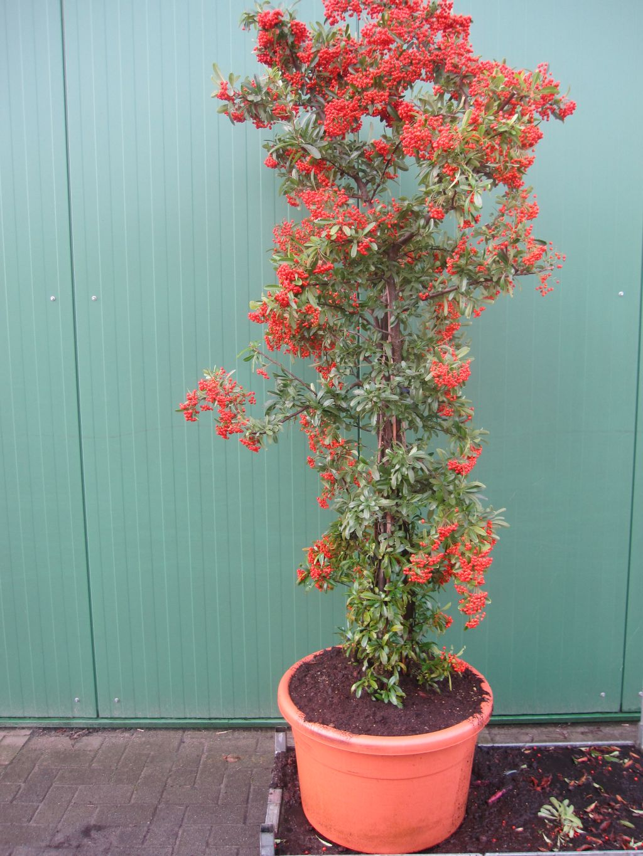 pyracantha coccinea red cloumn feuerdorn red column. Black Bedroom Furniture Sets. Home Design Ideas