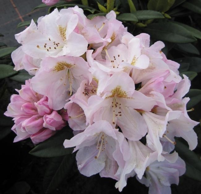 rhododendron hybr brigitte 30 40 cm. Black Bedroom Furniture Sets. Home Design Ideas