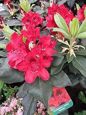 rhododendron hybr matador 30 40 cm. Black Bedroom Furniture Sets. Home Design Ideas
