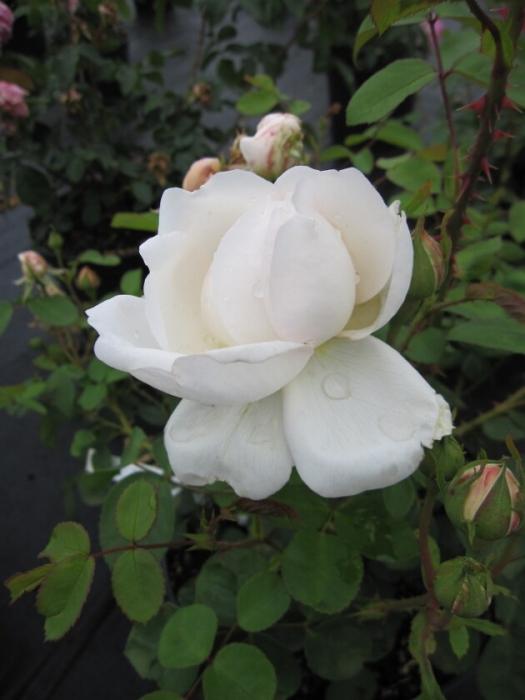englische rose glamis castle syn auslevel rosa glamis. Black Bedroom Furniture Sets. Home Design Ideas