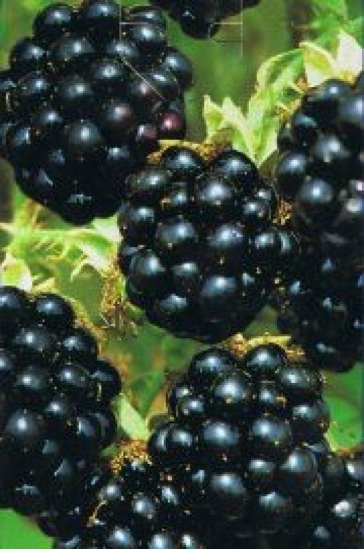 rubus fruticosus 39 black satin 39 brombeere. Black Bedroom Furniture Sets. Home Design Ideas