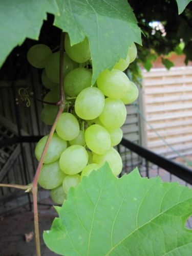 vitis vinifera bacchus traube wei e aromatische trauben mehltaufest weinrebe weintrauben tafeltraube. Black Bedroom Furniture Sets. Home Design Ideas