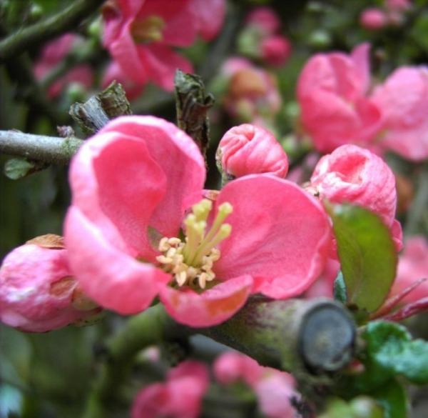 chaenomeles pink lady japanische quitte pink lady zierquitte. Black Bedroom Furniture Sets. Home Design Ideas