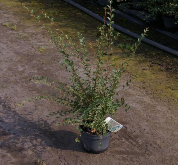 Felsenmispel Cotoneaster divaricatus Sparrig Steinmis Sparrige Zwergmispel