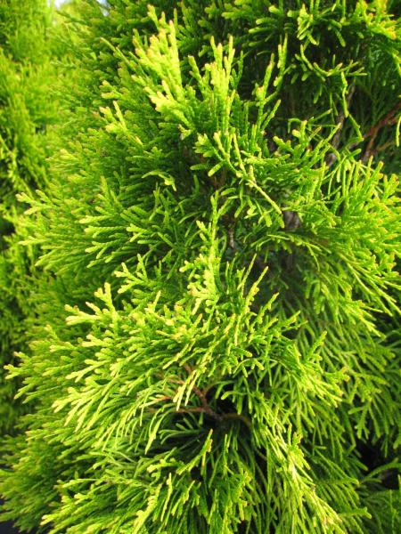 thuja occidentalis golden smaragd lebensbaum golden smaragd. Black Bedroom Furniture Sets. Home Design Ideas