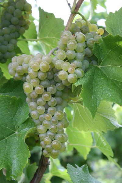 Vitis vinifera Solarisweiße Weintraube robust stark sehr frühreif veredelt