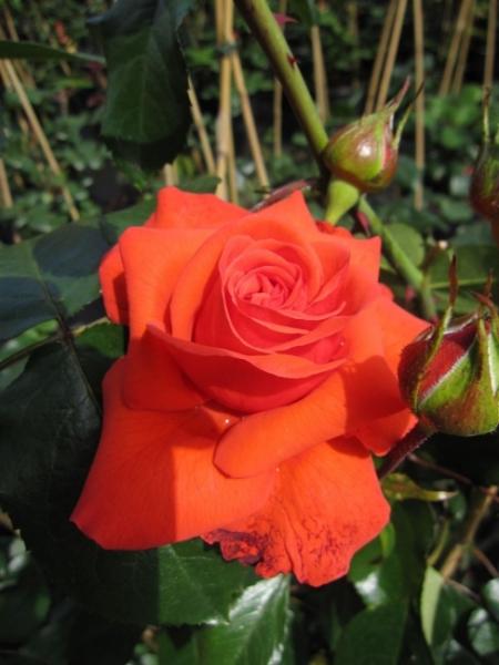 kletterrose salita rosa salita orange rot kordes. Black Bedroom Furniture Sets. Home Design Ideas