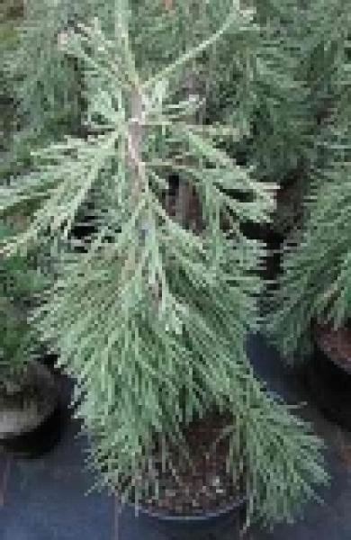 sequoiadendron giganteum barabits requim riesenmammutbaum. Black Bedroom Furniture Sets. Home Design Ideas
