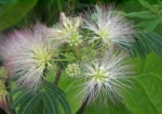 Der Seidenbaum Albizia julibrissin blüht mit hell- bis dunkelrosafarbenen Pinselblüten.