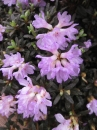 Rhododendron anthopogon x lapponicum Frosthexe